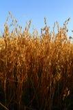 Oat field Stock Photo