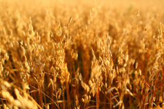 Oat field Royalty Free Stock Photos