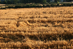 Oat field. At harvest time Stock Photo