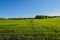 Oat field agriculture sprouts Royalty Free Stock Photography