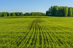 Oat field agriculture sprouts Stock Photos