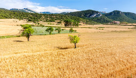 Oat Field and Almond Trees Royalty Free Stock Images