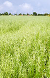 Oat field, August. Green oat ears field, August Stock Image