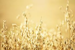 Oat Field Background Stock Photos