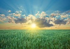 Oat field with blue sky with. Sun and clouds stock photo