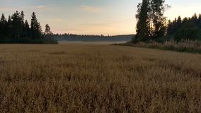 The oat field at the evening stock photo