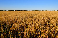 Oat field in the fall. Ripe oats. Autumn, the Yellow field with ears of oats. Panorama of nature. Cereals. The food at the root. Farming. Agriculture. Ripe Royalty Free Stock Photos