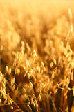 Oat field Stock Photos