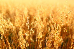 Oat field. Golden ears of oat on the field Stock Photos