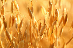 Oat field Stock Images