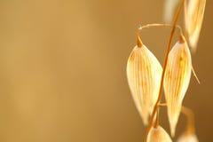 Oat field. Golden ears of oat on the field Royalty Free Stock Photography