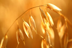 Oat field Royalty Free Stock Photo
