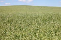 Oat field. Stock Image