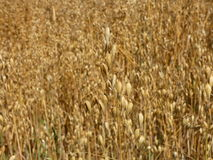 Oat Field Harvest Royalty Free Stock Photography