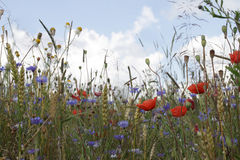 Oat field with poppies and cornflowers Stock Image