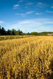 Oat field. Ripe Oat field in the countryside Royalty Free Stock Photo