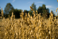 Oat field. Ripe Oat field in the countryside Royalty Free Stock Photography