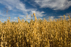 Oat field. Ripe Oat field in the countryside Stock Images
