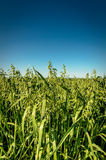 Oat field Stock Photography