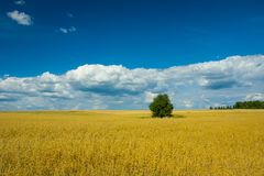 Oat field, single tree, horizon and beautiful clouds on blue sky. View on a sunny summer day stock images