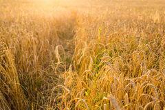 Oat Field in sunlight Royalty Free Stock Images
