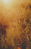 Oat field at sunset light atcountryside farm. Royalty Free Stock Images