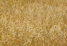 Oat field texture Stock Photography