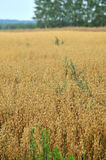 Oat field with weeds. Golden oat field with weeds Royalty Free Stock Photos
