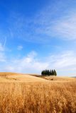 Oat fields. Cypress trees and oat fields in Tuscany Stock Photos