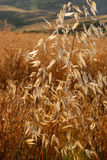 Oat fields at sunset Royalty Free Stock Photography