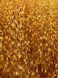 Oat Gold royalty free stock photos