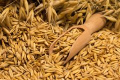 Oat grain closeup Royalty Free Stock Photos