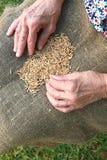 Oat grains Royalty Free Stock Photo