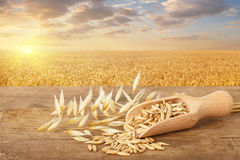 Oat grains in scoop. And oat ears on table with ripe cereal field on the background. Golden field on sunset. Agriculture and harvest concept Stock Photography