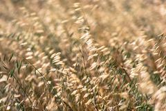 Oat grass growing on a field in California where is considered invasive stock images