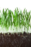 Oat grass and roots Stock Photo