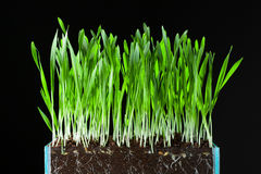 Oat grass and roots. In soil cross-cut section Stock Image