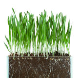 Oat grass and roots. In soil cross-cut section isolated on white Stock Photos