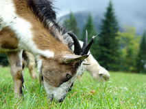 The goat is grazed on the mountain to meadow in summer. Mountain goat is grazed on the mountain to meadow in summer Royalty Free Stock Photos