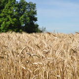 Oat harvest Stock Photography