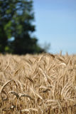 Oat harvest Royalty Free Stock Photos