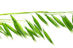 Oat Inflorescence stock photography