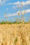 Oat over wheat field Royalty Free Stock Images