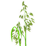 Oat plant Stock Photo