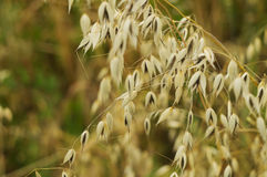 Oat plant close-up Royalty Free Stock Photos
