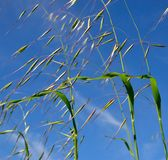 Oat plant with green seeds on blue sky. Green seeds of oat plant Royalty Free Stock Image