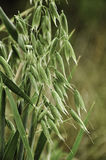 Oat plant Royalty Free Stock Image