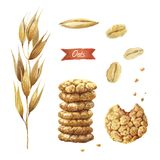 Oat plant, seeds, flakes and cookies watercolor illustration Stock Photos