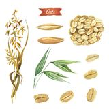 Oat plant, seeds and  flakes watercolor illustration Royalty Free Stock Photo