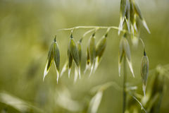 Oat plants on the acre in Summer stock photos